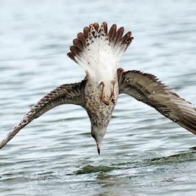 by Sathish Kumar S - Animals Birds ( gull, seagull )