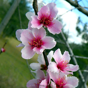 Peach Tree Blossoms by Pam Jones - Nature Up Close Gardens & Produce ( outdoors )