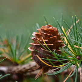 the perfect pinecone by Deborah Stuckey - Nature Up Close Other Natural Objects ( pinecone, macro, tree, pine tree, forest,  )