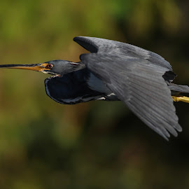 Blue Heron In Flight by Aaron Whitaker - Animals Birds ( bird, flight, nature, blue, wings, heron, animal, birding )