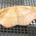 Juniper-twig Geometer Moth