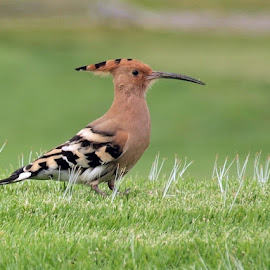 Hoopoe by Francisco Cardoso - Animals Birds ( bird, grass, green, focus, olympus )