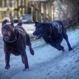 The Chase by Deborah Lister - Animals - Dogs Running ( blacklab, playing, ball, snow, labradorretriever, action, chocolatelab, dog, labrador, running )