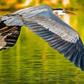 Great Blue Heron Skims Water after Evening Snack by Russ Heim - Animals Birds ( great blue heron, blue heron, lake, heron, bird in flight )