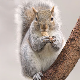 Squirrel with nut by Kathy Jean - Animals Other Mammals ( other, nut, squirrel, mammal, animal )