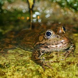 Face à face avec la grenouille by Gérard CHATENET - Animals Amphibians