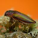 Rainbow Buprestid