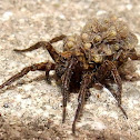 Wolf spider,female