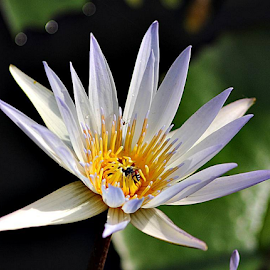 A Whte water lily and a bee. by Robert Rizal Abdullah - Flowers Single Flower