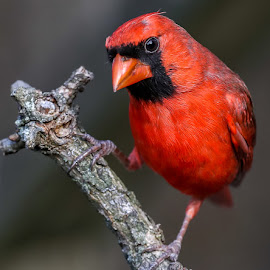 Male Cardinal by Mike Craig - Animals Birds