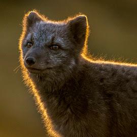 Arctic Fox in low sunlight by Trond Eriksen - Animals Other Mammals ( fox, endangered species, arctic fox, norway )
