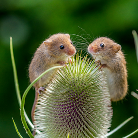 Mickey & Minnie by Garry Chisholm - Animals Other Mammals ( mice, garry chisholm, harvestmouse, nature, rodent,  )