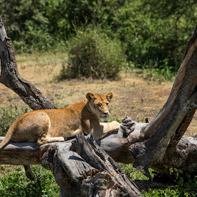 il dolce far niente by Rosu Alexandru - Animals Lions, Tigers & Big Cats ( lion, tree, lioness, wildlife, africa,  )