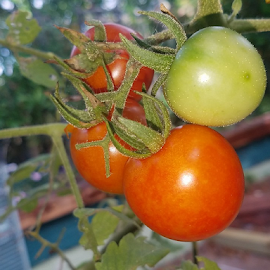 Tomatoes with dew by Jeffrey Lee - Nature Up Close Gardens & Produce