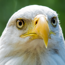 Bald Eagle by Keith Sutherland - Animals Birds ( bird, face, staring, bald eagle )