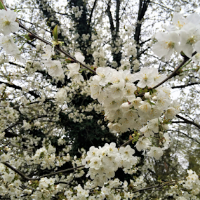 Cherry tree in white and green by Luka Mitrović - Flowers Tree Blossoms ( tree, blooms, beautiful, bloom, spring,  )