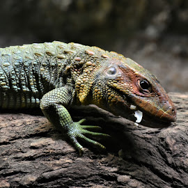 by Koh Chip Whye - Animals Reptiles (  )