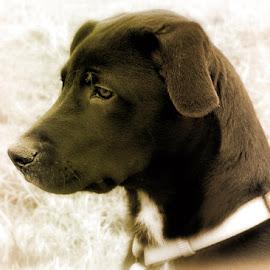 by Kirsi Bertolini - Animals - Dogs Portraits