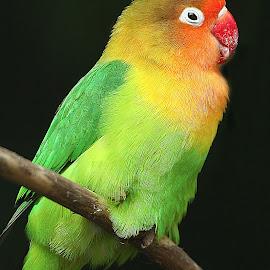 Inséparable tout seul by Gérard CHATENET - Animals Birds