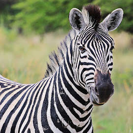 Zebra King by Jeff Abel - Animals Other Mammals