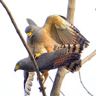 Roadside Hawks