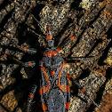 Red Tiger Assassin Bug