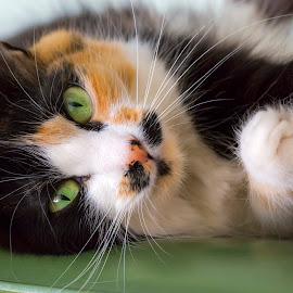 Cordelia III by Mark Ritter - Animals - Cats Portraits ( calico, cordelia, cat, green eyes, portrait )