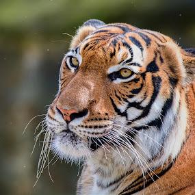 Mr. Tiger by Jiri Cetkovsky - Animals Lions, Tigers & Big Cats ( look, alfa, old, tiger, big, prague )