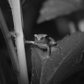You lookin' at me? by Nathaniel Bennett - Animals Amphibians ( macro, frog, tree frog, cute, close-up )