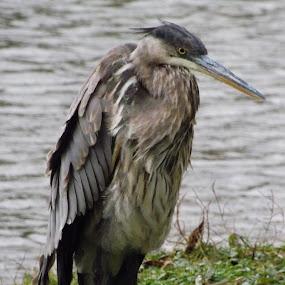 Ruffled Blue Heron  by Barbara Storey - Animals Birds ( bird, nature, waterfowl, blue heron, nature up close, summer, riverbank, river )