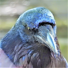 Close up of a Raven by Mary Gallo - Animals Birds ( close up, raven, bird, nature up close, animal, portrait,  )