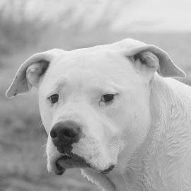 White dog by Hilda van der Lee - Animals - Dogs Portraits ( sad face, b & w, dog, close up, portrait,  )
