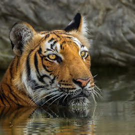 Royal look by Jineesh Mallishery - Animals Lions, Tigers & Big Cats ( tiger, wildlife, jineesh )