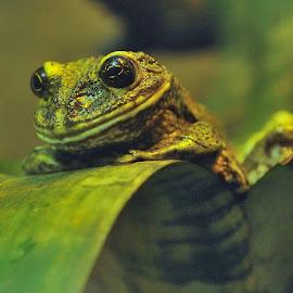 Frog by Tomasz Budziak - Animals Other ( frog )