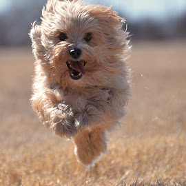 Pip takes flight by Kathryn White - Animals - Dogs Running ( flight, meadow, dogs running, happiness, dog, happy dog, running, animal )