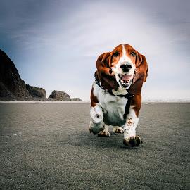 Charlie Brown by Annette Nordlinder - Animals - Dogs Running ( white, brown, basset hound, beach, running, smiling,  )