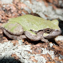 Bird-Voiced Tree Frog