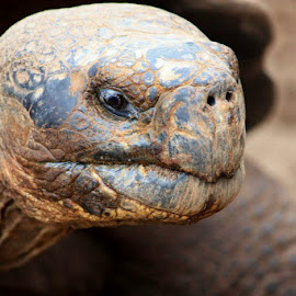 Galapagos Island Giant Tortoise by Karen Coston - Animals Reptiles ( ancient eyes, tortoise, nature, wildlife, giant tortoise, galapagos )