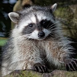 Raccoon 877 by Raphael RaCcoon - Animals Other Mammals ( raccoon )
