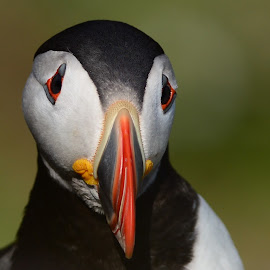 Puffin by Pat Somers - Animals Birds (  )