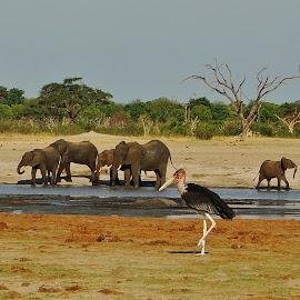 Marabu and Elephants by Kurt Haas - Animals Other ( wild animal, mammals, wild, national park, wilderness, wild life, national geographic, elephant, wildlife, birds,  )
