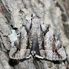 Widow Underwing Moth