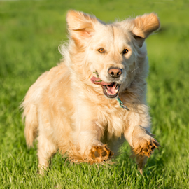 Golden Retriever Running by Jacques Jacobsz - Animals - Dogs Running ( excitement, retriever, warm, freedom, catch, exercise, farmland, retrieval, chase, run, glow, space, sun, short, love, farm, throw, gras, autumn, happy, bread, action, best, tennis, light, fields, fetch, ball, afternoon, mouth, green, fun, master, genetics, fodder, recovered, female, pet, owner, clever, low, dog, fast, smart, golden, friend, found )