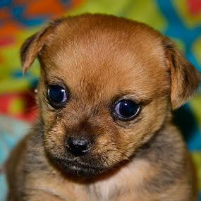Bratt by Hannes van Rooyen - Animals - Dogs Puppies ( pekingese, dogs, puppy,  )