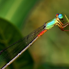 Colorful DamselFly  by Wartono - - Novices Only Macro ( macros, macrophotography, damselfly, colorful, macro photography, nature close up, macro shot, nature photo, nature art, macro art, macro, nature, nature and wildlife, nature up close, nature photography, dragonfly )