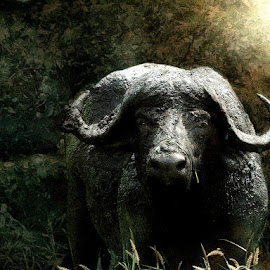I Know Where You Live by Bjørn Borge-Lunde - Digital Art Animals ( wild animal, buffalo, wilderness, nature, wildlife, africa, animal )