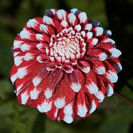 Dahlia 8640~ by Raphael RaCcoon - Flowers Single Flower