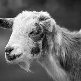 Goat 2 by Elk Baiter - Animals Other ( farm, black and white, goat, animal )