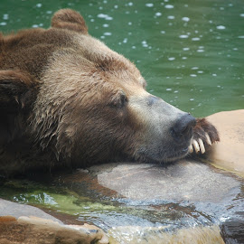 Sleepy Bear by Angel Harvey - Novices Only Wildlife ( brown bear )