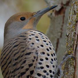 Northern Flicker  by Nick Swan - Animals Birds ( bird, nature, northern flicker, wildlife, woodpecker )